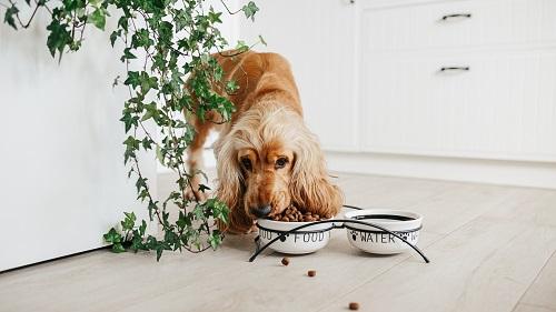 croquettes pour chien Pro Plan